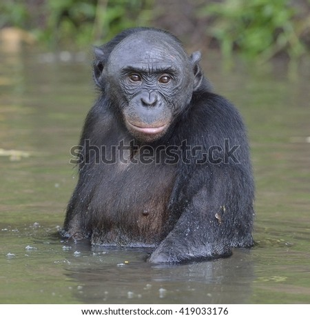 Bonobo standing in water looks for the fruit which fell in water. Bonobo ( Pan paniscus ). Democratic Republic of Congo. Africa - stock photo