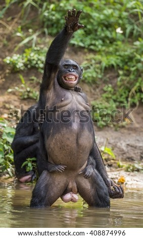 Bonobo standing on her legs in water with a cub on a back standing on her legs and hand up. The Bonobo ( Pan paniscus). Democratic Republic of Congo. Africa      - stock photo