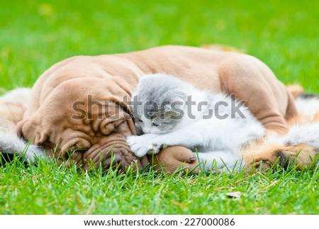 Bordeaux puppy dog sleep with newborn kitten on green grass - stock photo