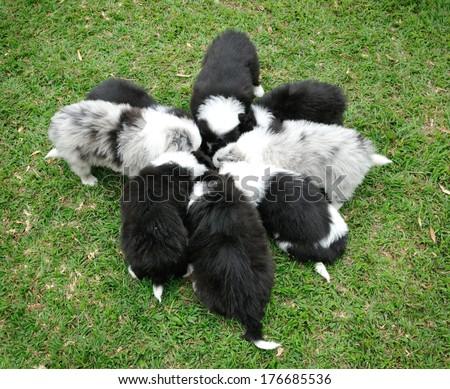 Border Collie dog puppies sitting on isolated white background. - stock photo