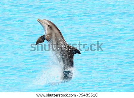 bottlenose dolphin ( Tursiops truncatus) performing a tail stand - stock photo