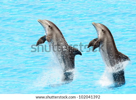bottlenose dolphins ( Tursiops truncatus) performing a tail stand - stock photo
