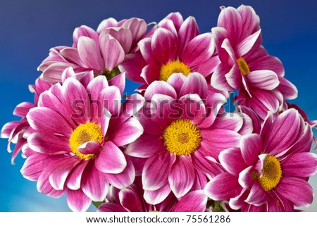 bouquet of chrysanthemums on a blue background - stock photo