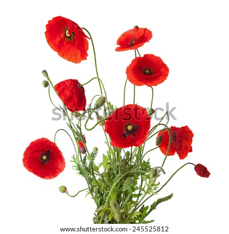 Bouquet  of red poppies isolated on white. - stock photo