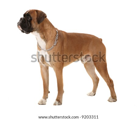 Boxer dog in perfect pose! - stock photo