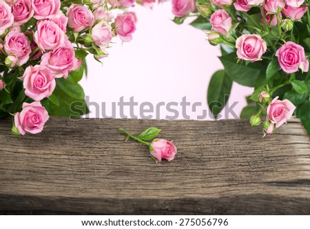 branch of pink roses. Isolated - stock photo