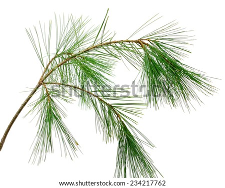branch of the pine, isolated, on a white background - stock photo
