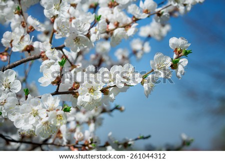 Branches of blossoming tree with white flowers against the sky - stock photo