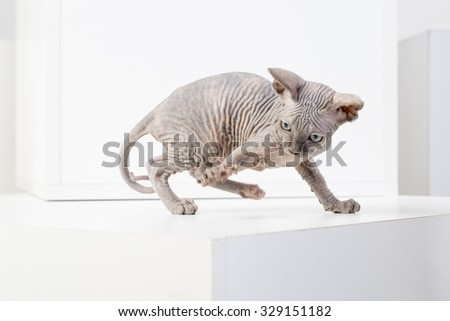 breed Sphinx kitten on a white background - stock photo