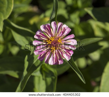 Bright  enchanting pink flowers of Zinnia  a genus of annual  plants of  sunflower tribe within the daisy family brighten up the garden in the heat of the summer months with long lasting blooms. - stock photo
