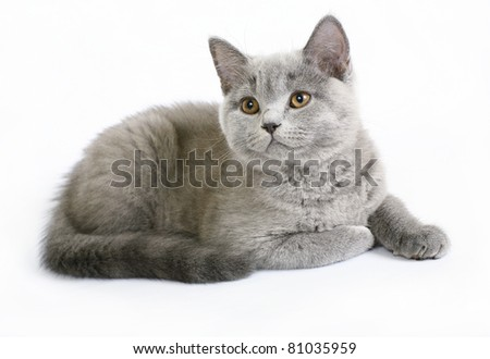 British kittens on white background - stock photo