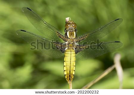 Broad-bodied Chaser dragonfly , female / Libellula depressa - stock photo