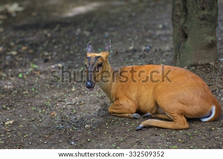 brow-antlered deer in the zoo. - stock photo