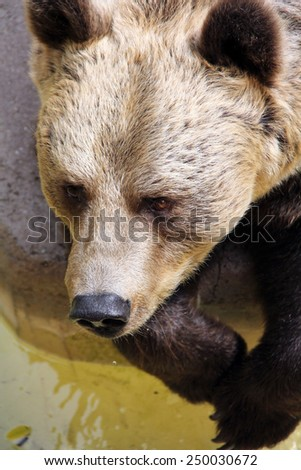 Brown Bear with Sad Eyes in Zoo