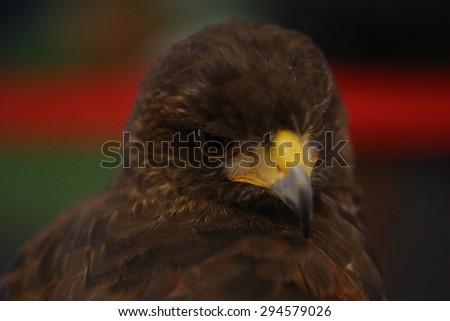brown eagle eye - stock photo
