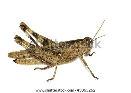 Brown Grasshopper isolated on white - stock photo