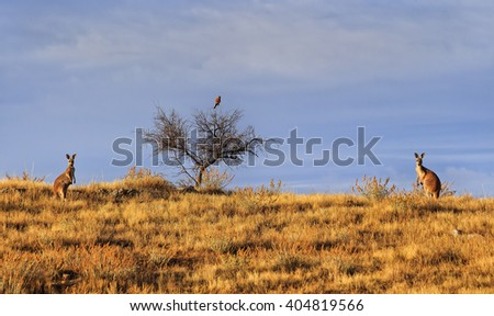 2 brown kangaroos and One bird of prey in Australian outback hiding in brown grass against blue sky under warm morning sun. - stock photo