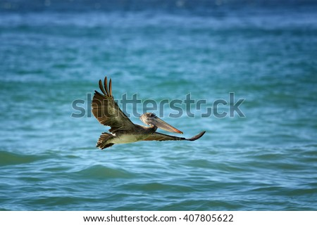 Brown Pelican, Pelecanus occidentalis flying low above sea level with outstretched wings. Wildlife photo, Tobago island. - stock photo