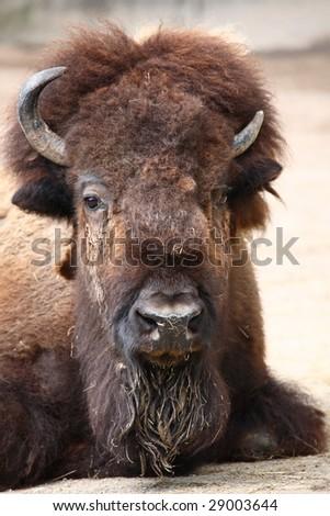 buffalo - stock photo