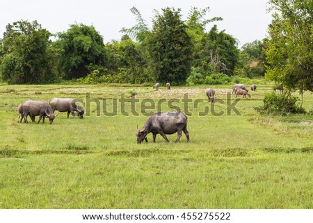 Buffalo is a pet is a way of Farmer Thailand since ancient ages.Where are the fields where the cattle are grain, it must Buffalo  - Thailand has not lost cattle farmers