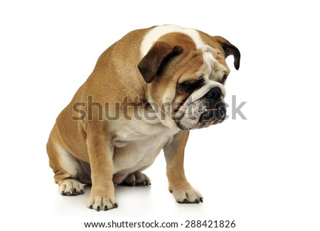 bulldog sitting in a white studio