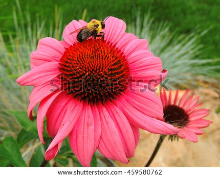 bumble bee on a pink coneflower  in colorado