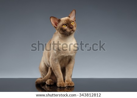 Burma Cat Sits and Looking up on Gray background