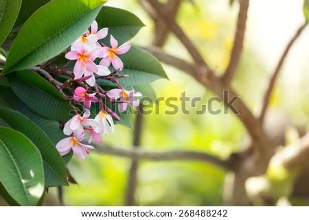 bush of pink frangipani tropical flower - stock photo