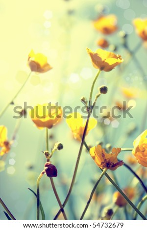 buttercup. yellow flower