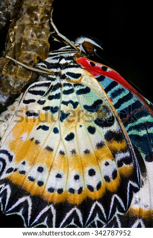 butterfly cocoons and newly hatched butterfly - stock photo