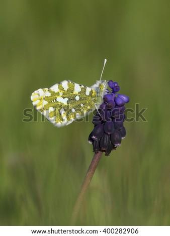 Butterfly (Euchloe ausonia) in natural habitat - stock photo