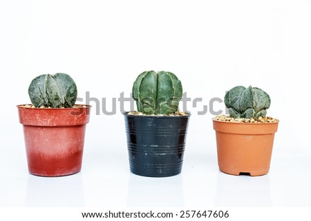 - cactus in pots on White background. -isolated - stock photo