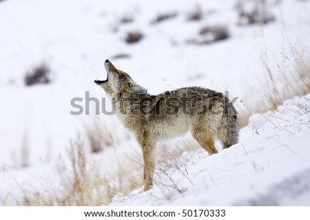 """Call of the Coyote"" - Its mating season for coyotes in Yellowstone National Park and this coyote is howling for a mate. - stock photo"