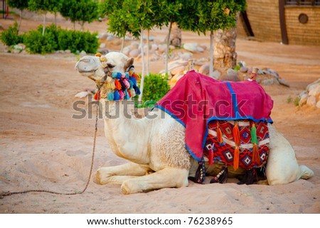 Camel on a sand  in Egypt - stock photo