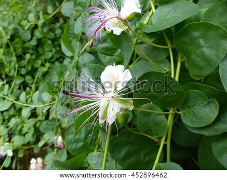 Capparidaceae family | - YouTube