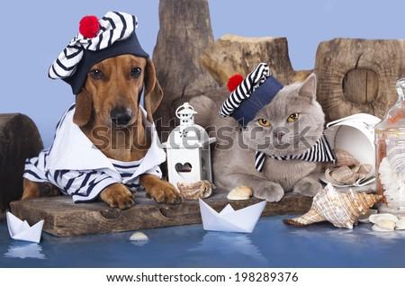 cat and dog, dachshund and british cat - stock photo