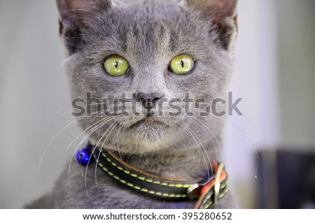 cat, kitten blue color,animal portrait of a kitten blue color with green eyes and collar around his neck - stock photo