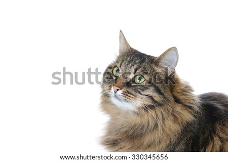 cat looking up isolated on white background - stock photo