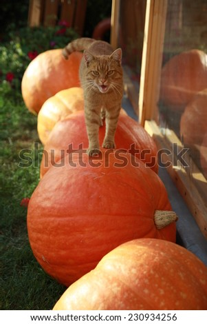 Cat walking on the pumpkins - stock photo