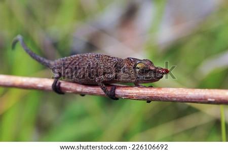 Chameleon - Rare Madagascar Endemic Reptile - stock photo
