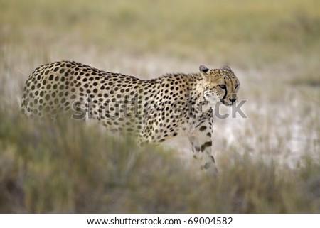 Cheetah walking in Grassland; Acinonyx jubatus; South Africa - stock photo
