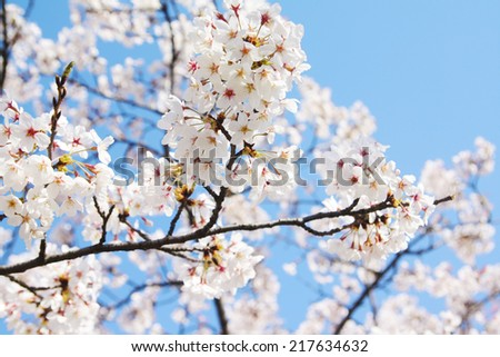 Cherry blossom and blue sky background in Korea