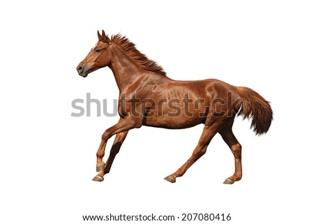 Chestnut horse galloping fast and free on white background - stock photo