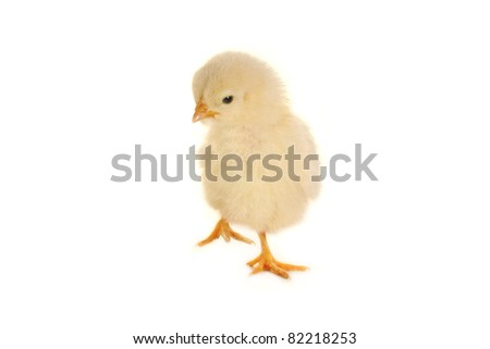 chick on a white background