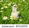 chicken on a grass - stock photo