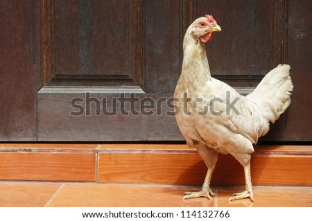 chicken stand with wood barn wall - stock photo