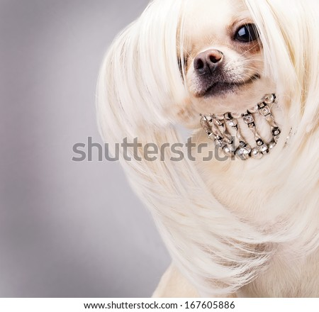 chihuahua dog with long hair and collar close up - stock photo
