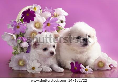 Chihuahua hua and Pekinese - stock photo