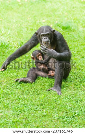 Chimpanzee mum and baby - stock photo