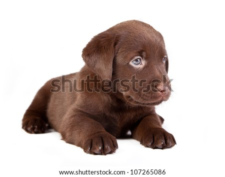 chocolate puppy labrador is lying on the white - stock photo